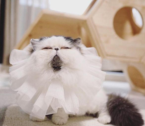 Котката Зу